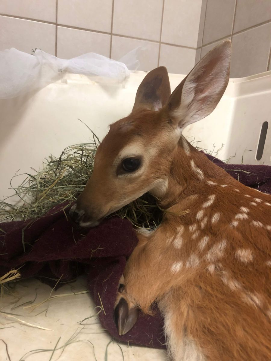 "<who> Photo Credit: Contributed. </who> Dr. Oz first assessed the approximately 15 kilogram fawn named ""Gilbert"" Tuesday morning."